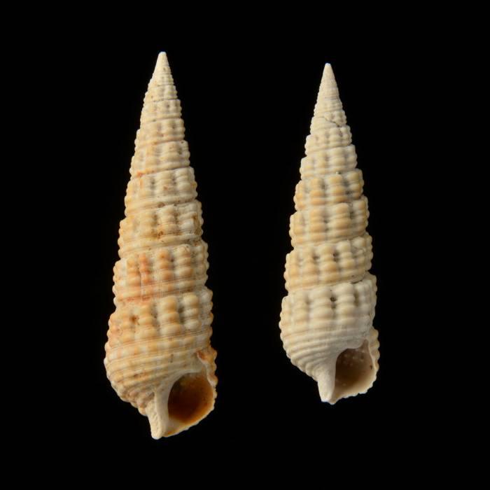 Granulolabium plicatum