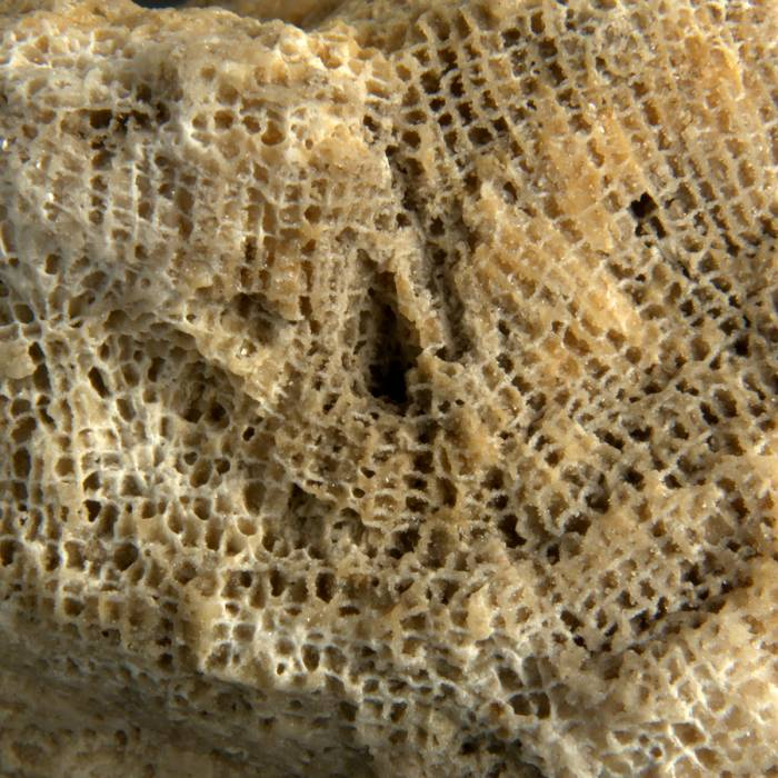 Saffordophyllum grande