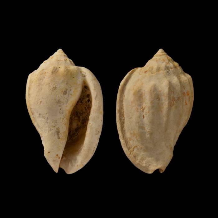 Morum (Oniscidia) cythara