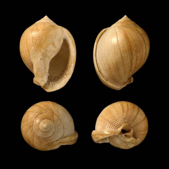 Semicassis miolaevigata
