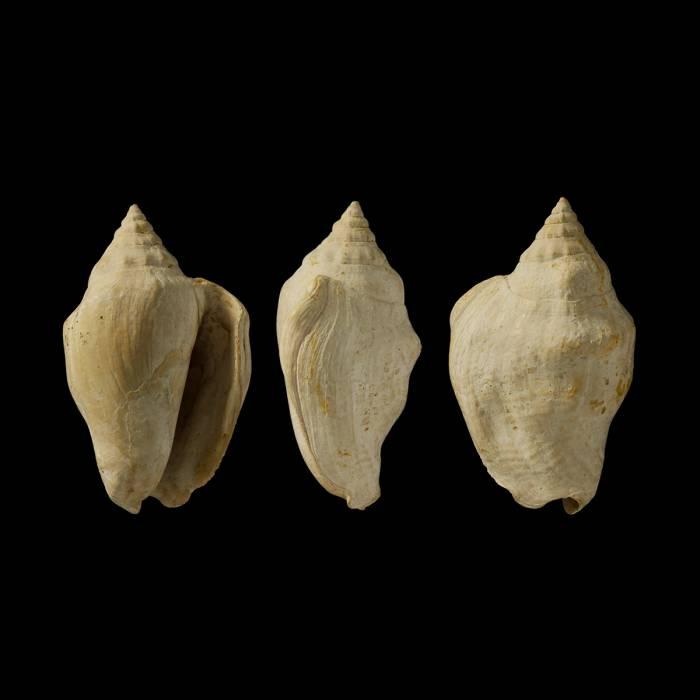 Persististrombus exbonellii