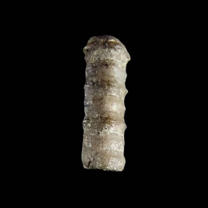 Liliowiec nieoznaczalny (Kasachstanocrinus nom. conf.)