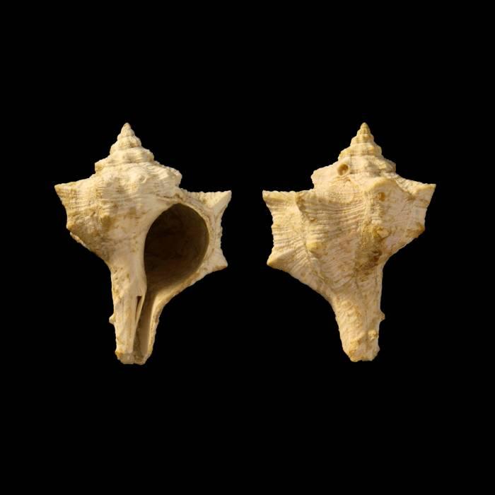 Bolinus brandaris torularius