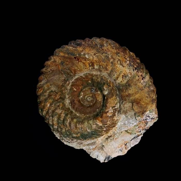 Gregoryceras tenuisculptum