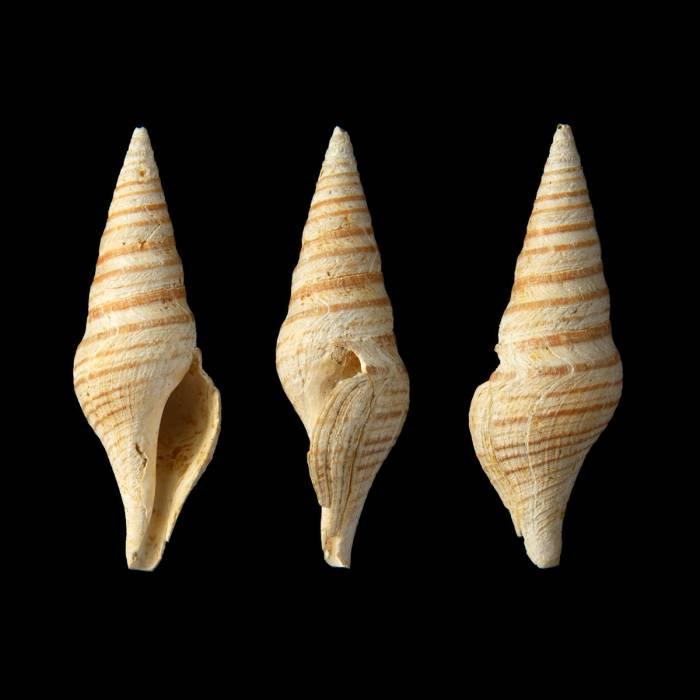 Gemmula (Unedogemmula) antwerpiensis