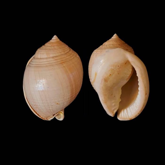 Semicassis laevigata