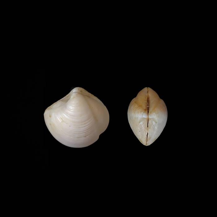 Linga columbella