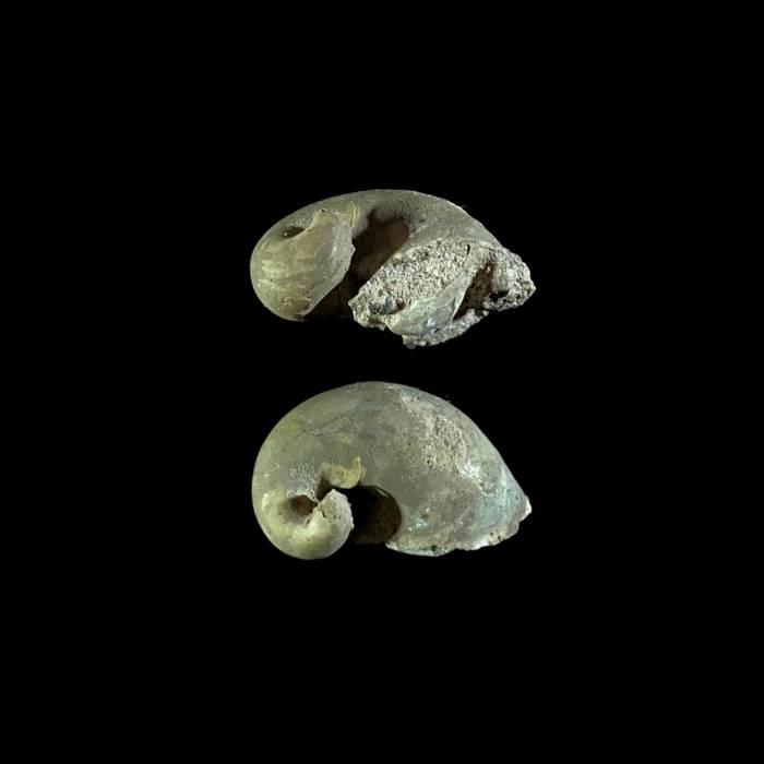 Ilymatogyra arietina