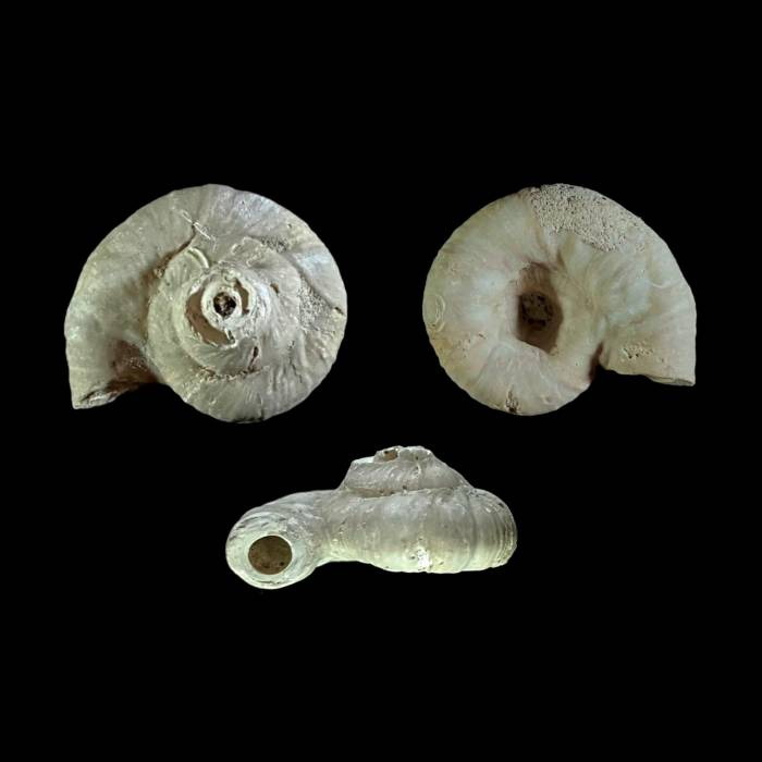 Rotularia saxonica
