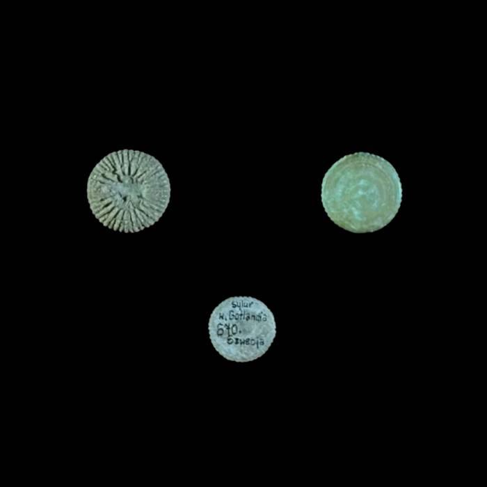 Palaeocyclus porpitus
