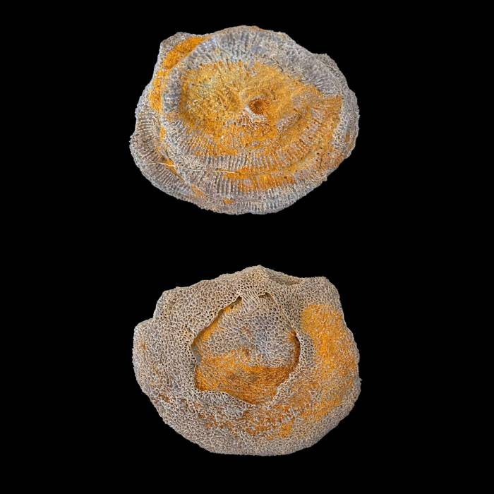 Alveolites fornicatus