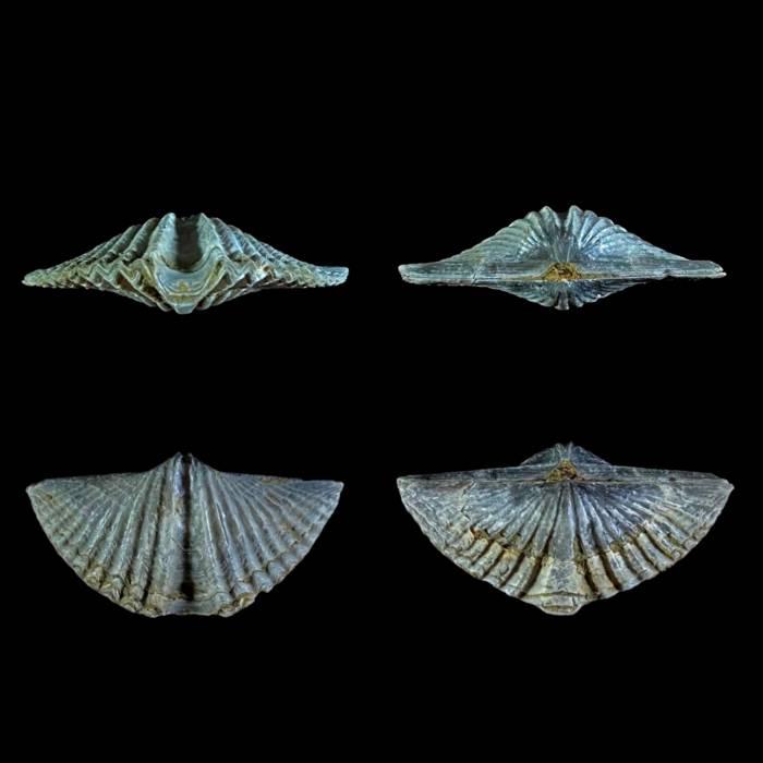 Eleutherokomma diluvianoides