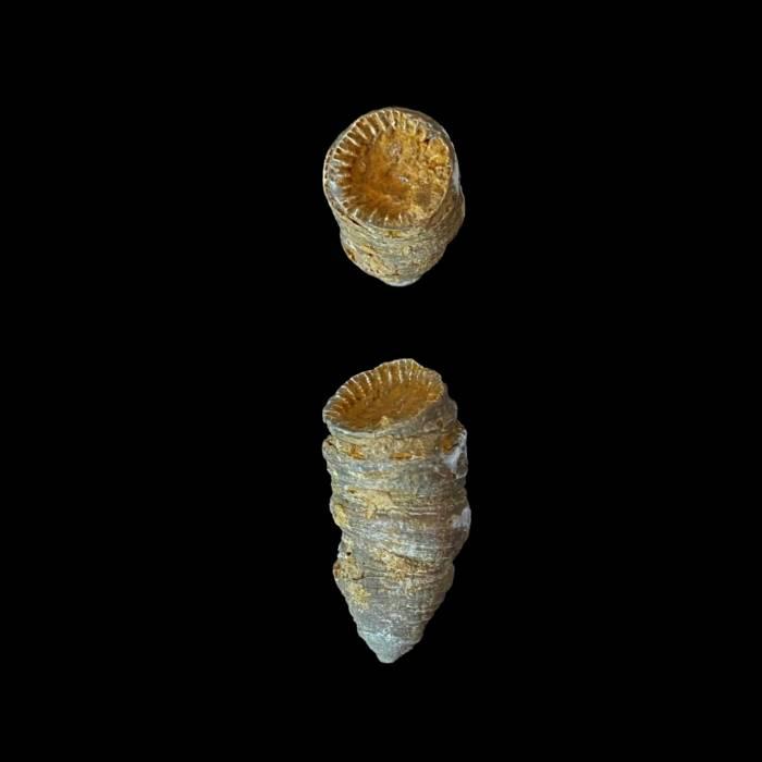 Heliophyllum sp.