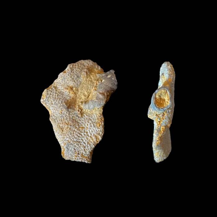 Platyaxum escharoides z koralowcem Rugosa