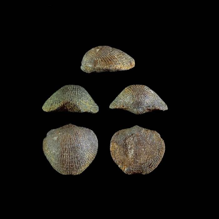 Desquamatia alticolifonnis