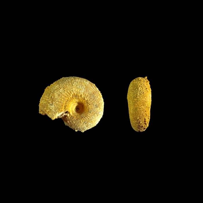 Macrocephalites sp.