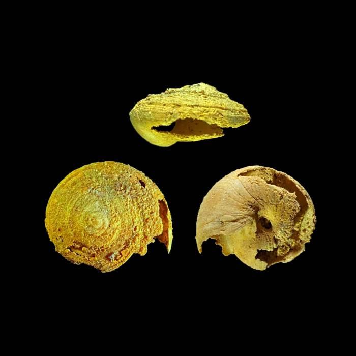 Obornella sp,