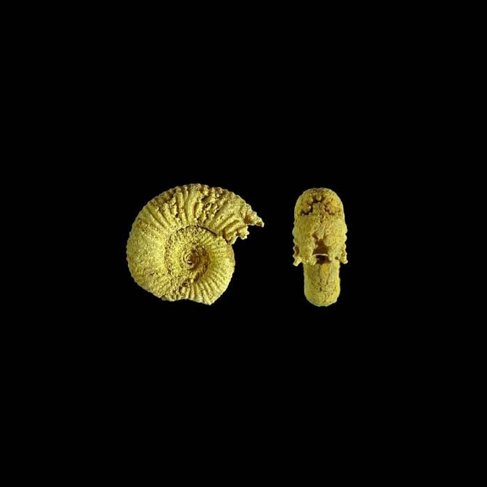 Perisphinctes sp.