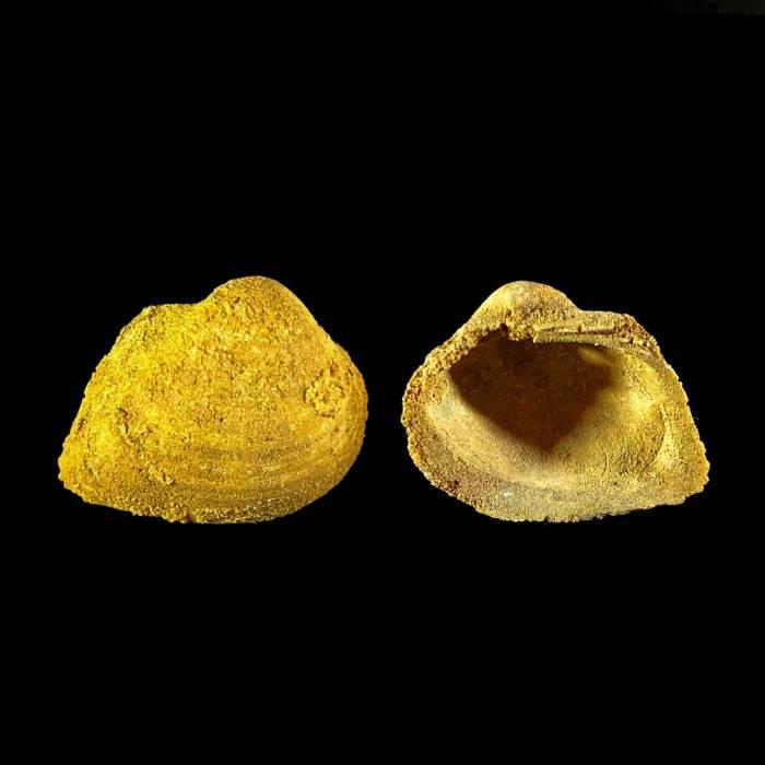 Grammatodon sp.