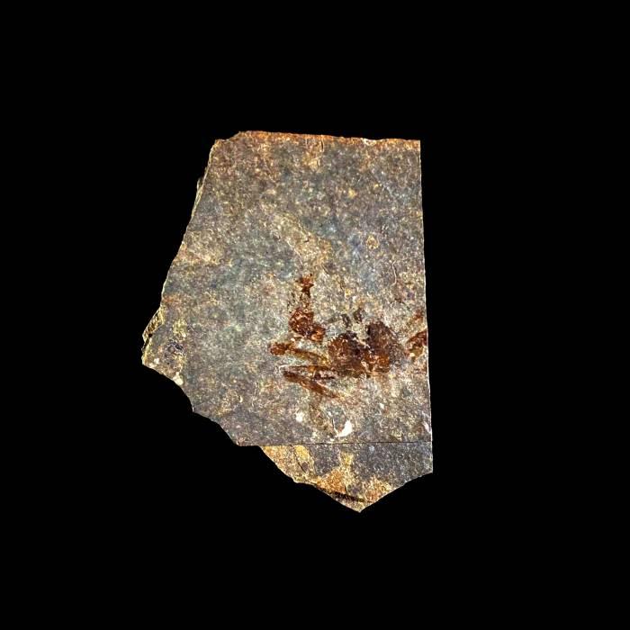 Portunus oligocenicus