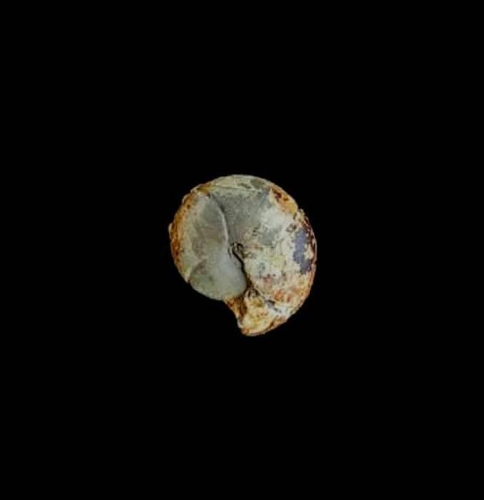 Cheiloceras subpartitum